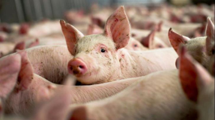 Măsuri de precauție la Lugoj, din cauza pestei porcine.