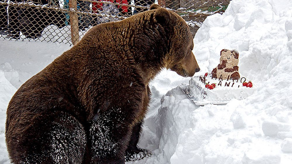 La Straja, are loc aniversarea ursului Baloo