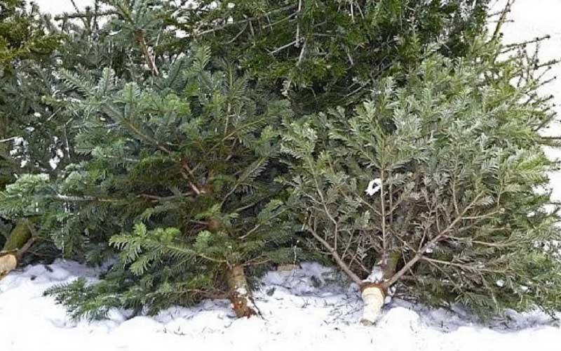 De azi începe colectarea brazilor de Crăciun la Lugoj