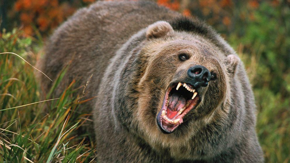 Ordonanţa care permite împuşcarea urşilor agresivi intră azi în vigoare